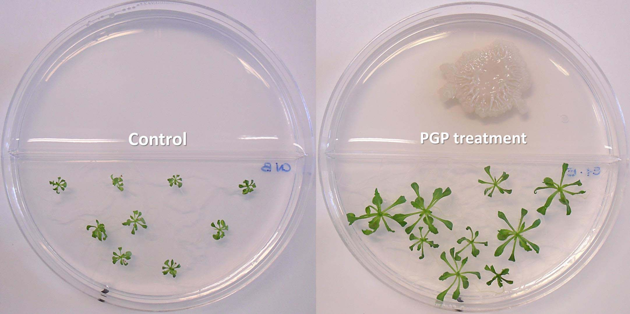 Influence of Plant Growth Promoting Bacteria (PGPB) on plants